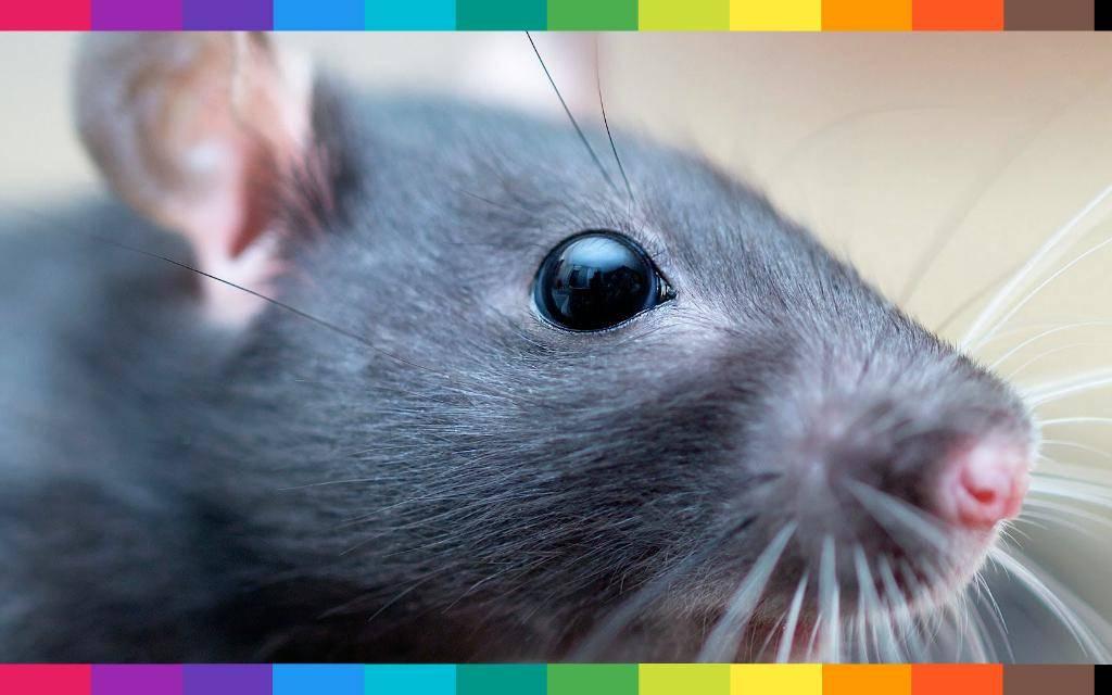 Cosa significa sognare un topo in casa,nel letto oppure un ratto che ...